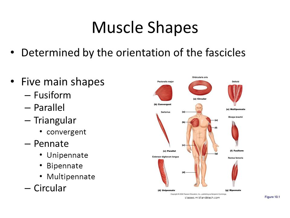 The Muscular System Part 1 - ppt video online download