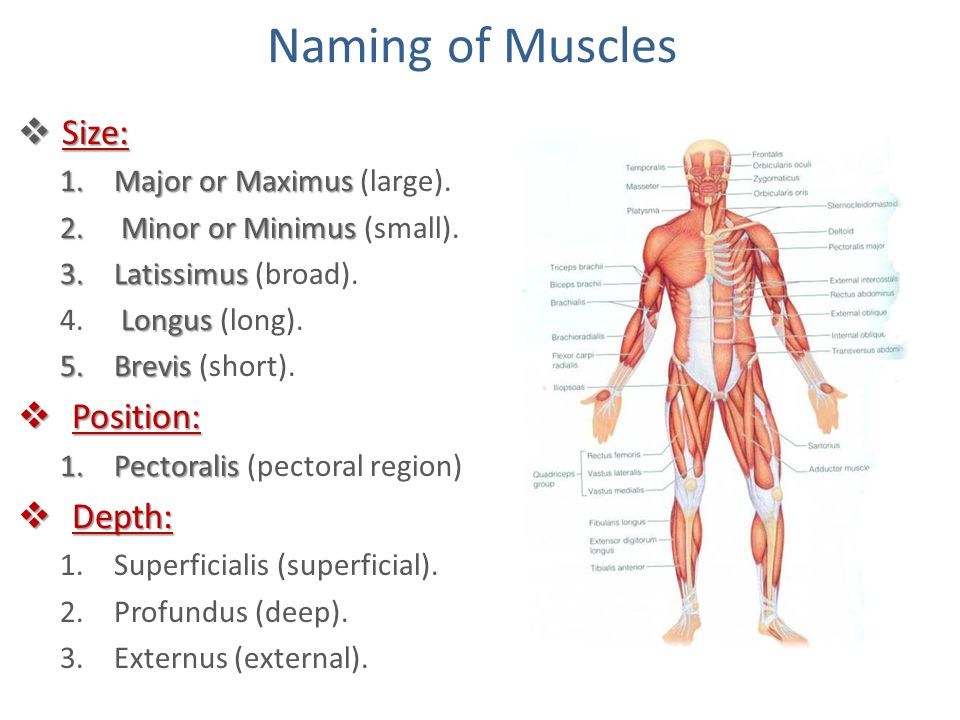 Naming of Muscles Size: Position: Depth: Major or Maximus (large).