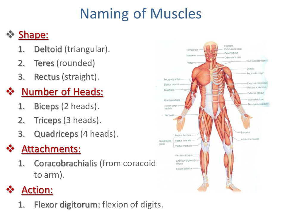 Naming of Muscles Shape: Number of Heads: Attachments: Action: