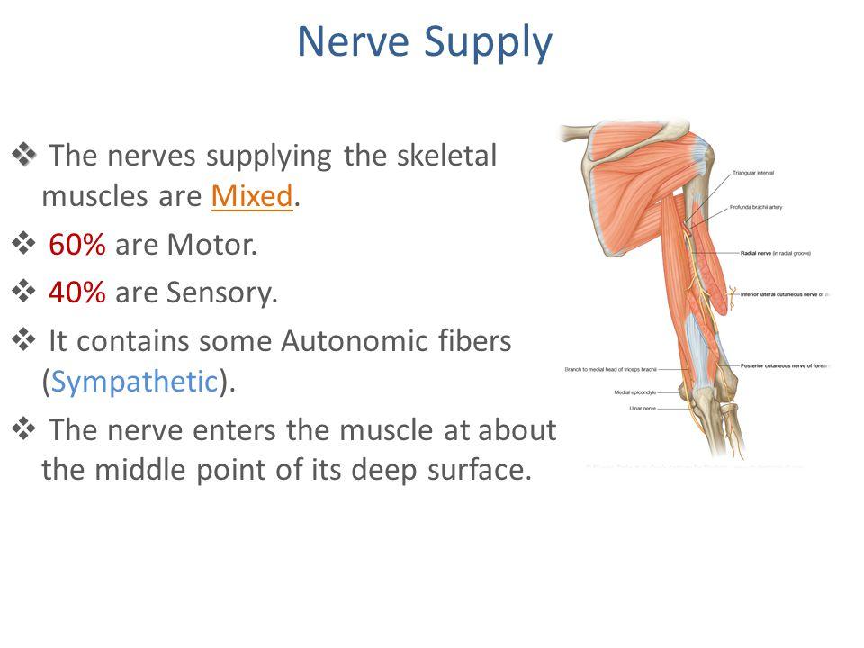 skeletal muscles ppt video online download