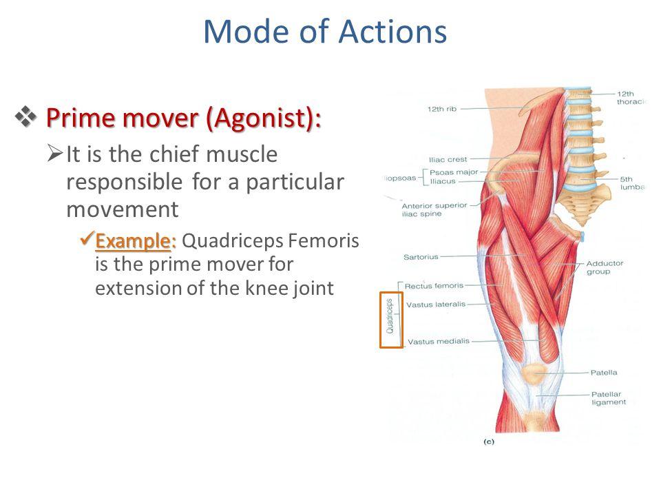 Prime Mover Anatomy Gallery Human Body Anatomy