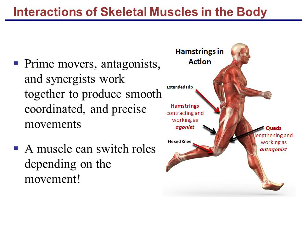 ultrastructure of skeletal muscle pdf