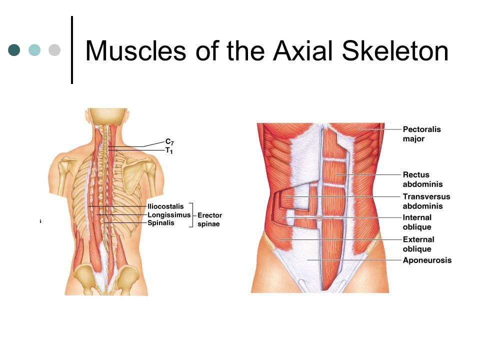 Naming Skeletal Muscles Ppt Video Online Download