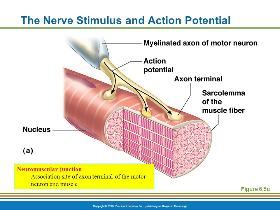 Skeletal Muscle Characteristics ppt video online download – Neuron and Neuromuscular Junction Worksheet