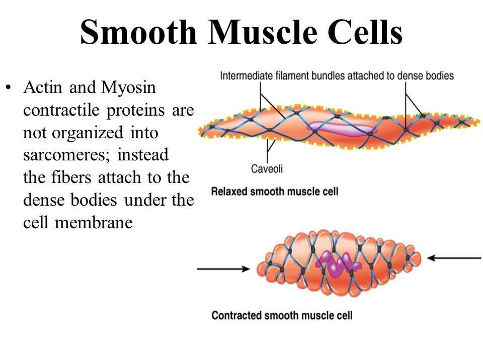 muscles and muscle tissue ppt