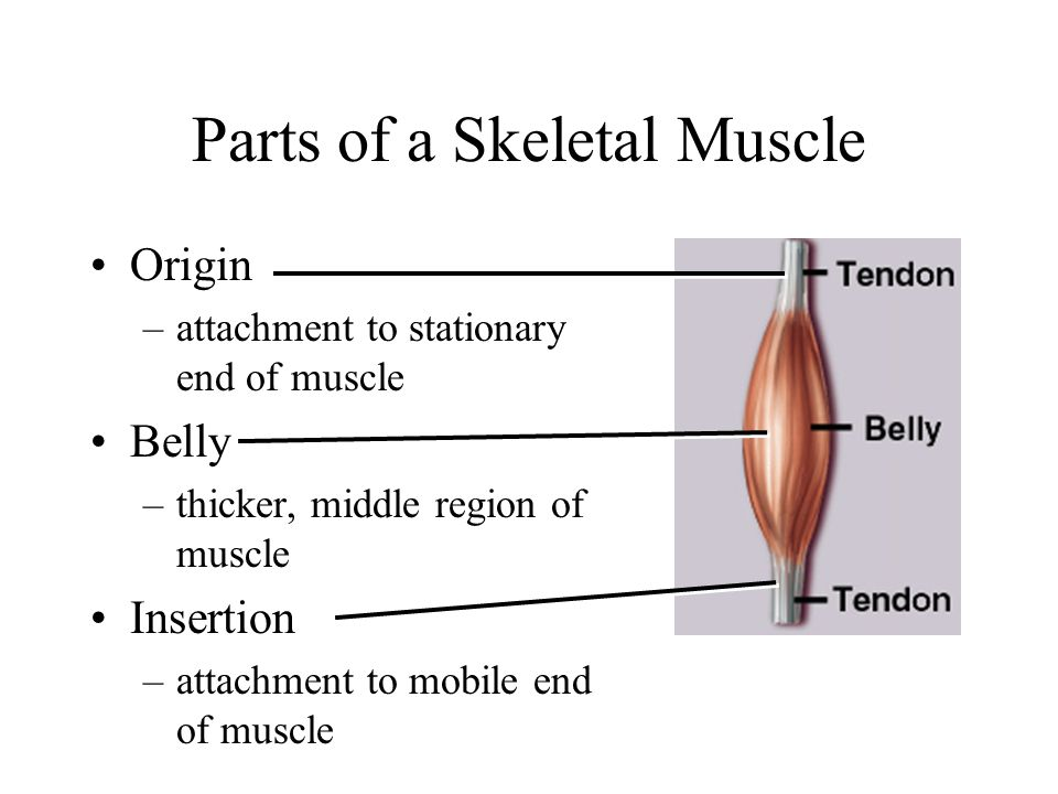 Pictures Of Parts Of Skeletal Muscle Kidskunstfo