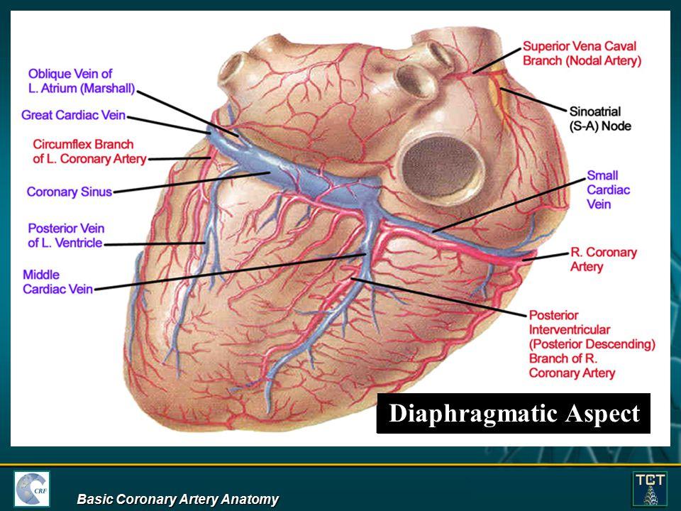 Anatomy of coronary artery