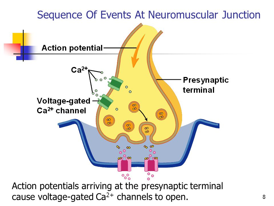 the neuromuscular junction The synapse or connection between a motor neuron and a skeletal muscle is known as neuromuscular junction communication happens between the neuron and muscle via nerve cells due to this.