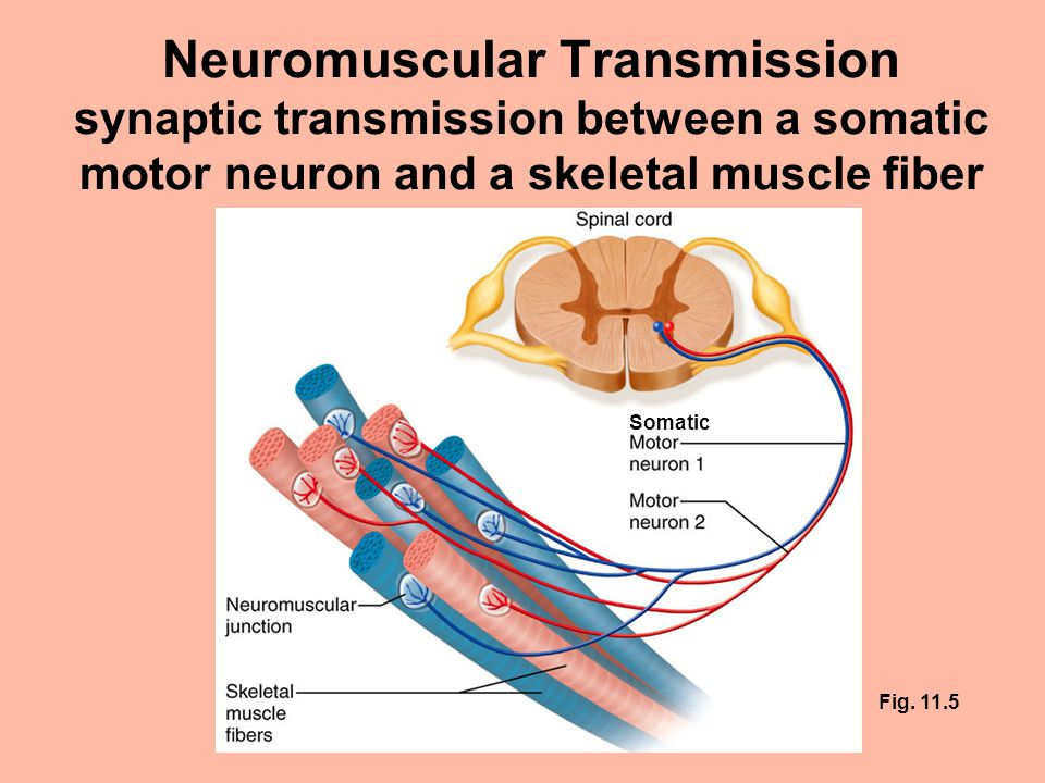 Neuromuscular transmission synaptic transmission between a for What is motor neuron