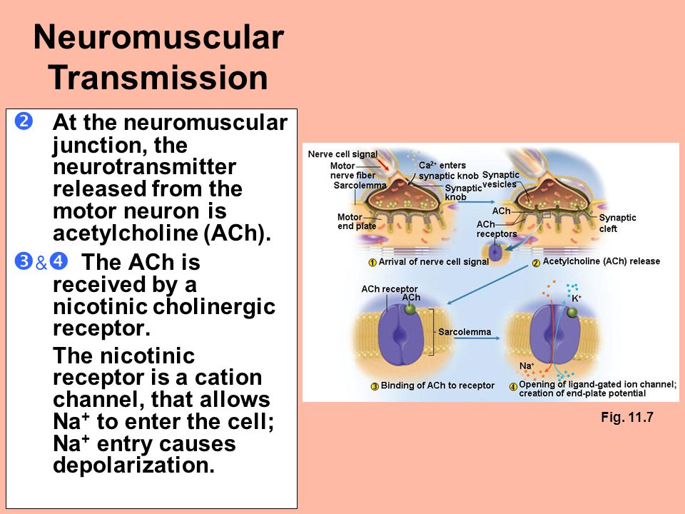 Neuromuscular Transmission synaptic transmission between a ...