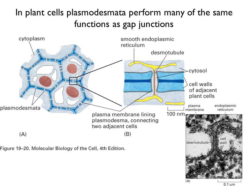 an overview of plant cell wall and plasmodesmata Plant structure, growth development overview – plant systems ii plant cell types plant cell types plant cell structure recap cell wall, plasmodesmata.