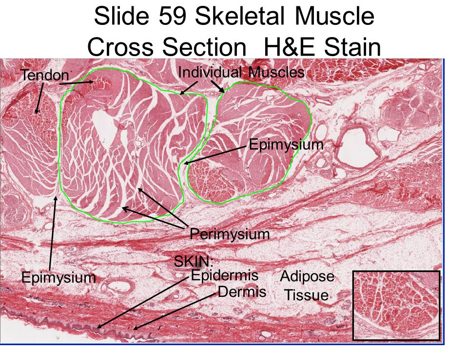 Histology Muscle Lab S...