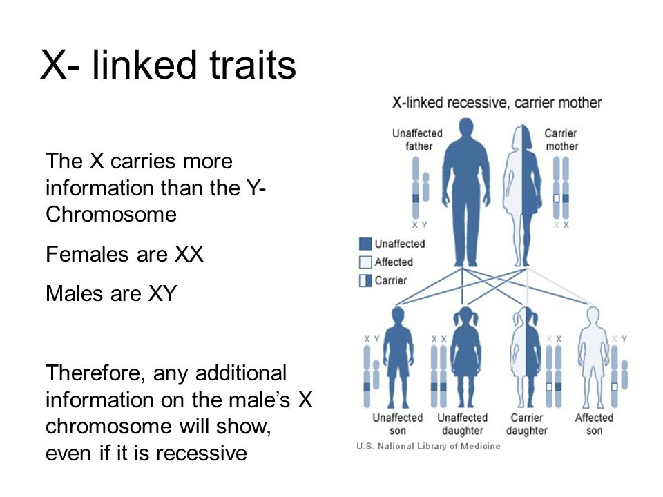 X- linked traits The X carries more information than the Y-Chromosome