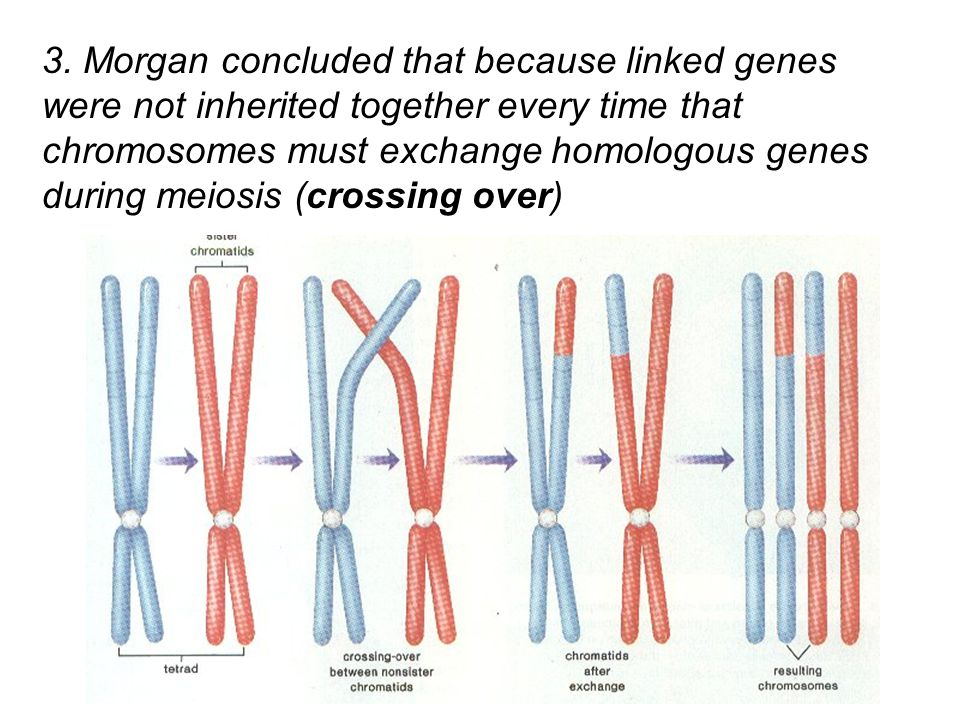 sex linked traits through meiosis and how Chromosome behavior and sex chromosomes tutorial 7 for simplicity's sake we will focus on the x-y system of sex determination to examine sex-linked inheritance during meiosis sex-linked traits are not unique to flies.