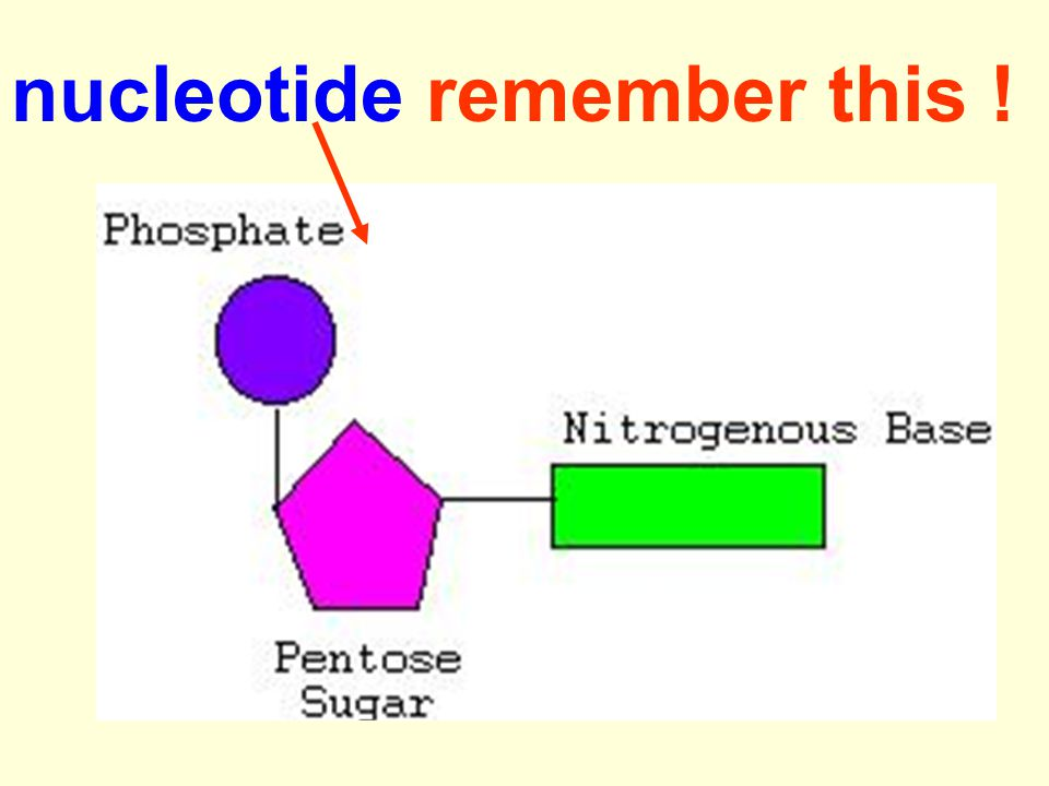 nucleotide remember this !