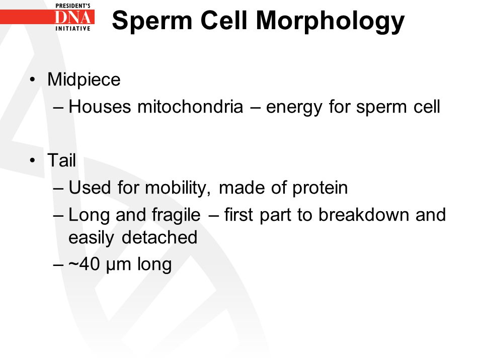 Sperm cell midpiece ist