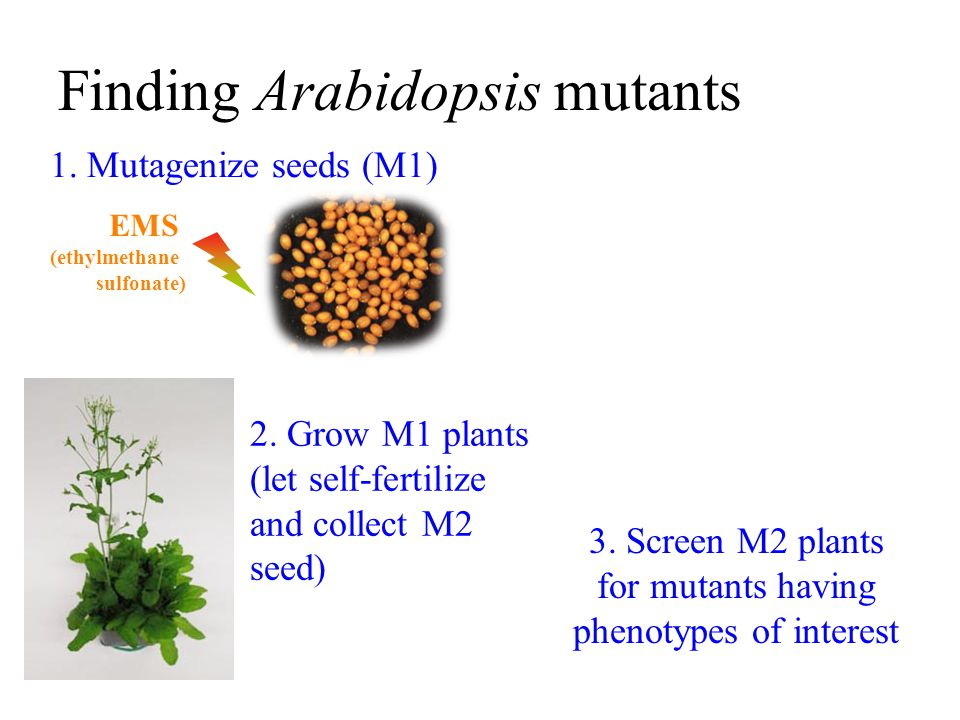 3. Screen M2 plants for mutants having phenotypes of interest