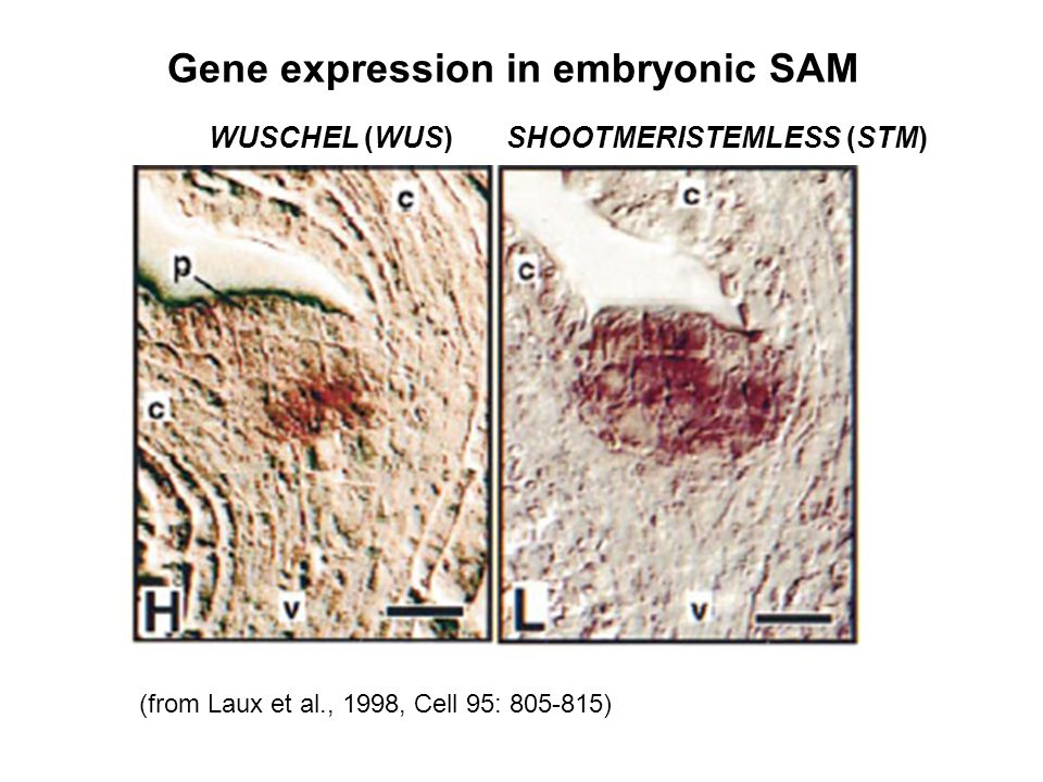 Gene expression in embryonic SAM
