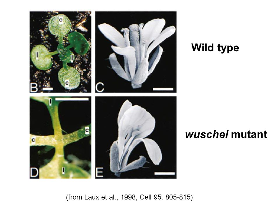 Wild type wuschel mutant (from Laux et al., 1998, Cell 95: )