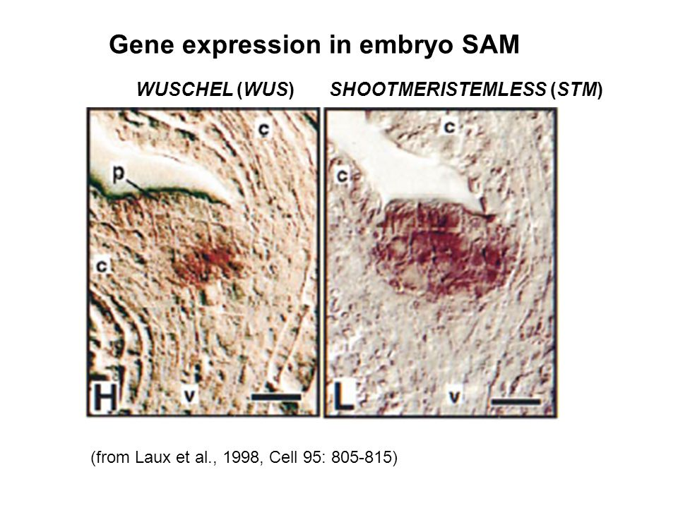 Gene expression in embryo SAM