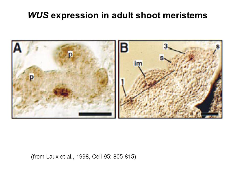 WUS expression in adult shoot meristems