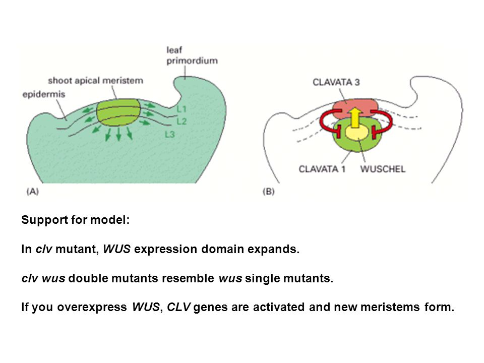 Support for model: In clv mutant, WUS expression domain expands. clv wus double mutants resemble wus single mutants.