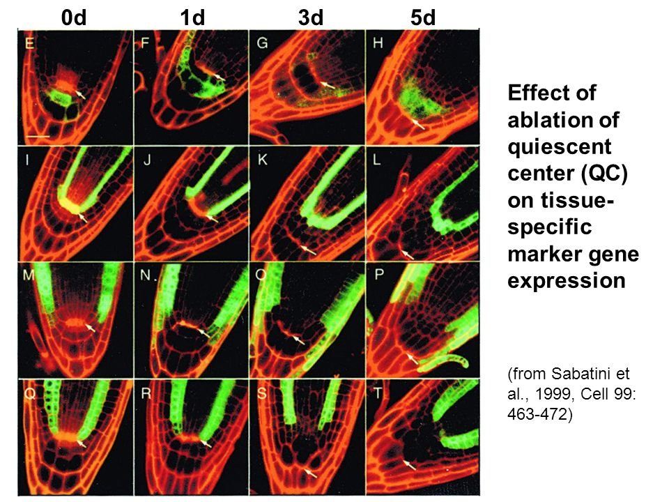 0d 1d 3d 5d Effect of ablation of quiescent center (QC) on tissue-specific marker gene expression.