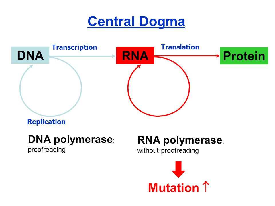 Central Dogma DNA RNA Protein Mutation  DNA polymerase: proofreading