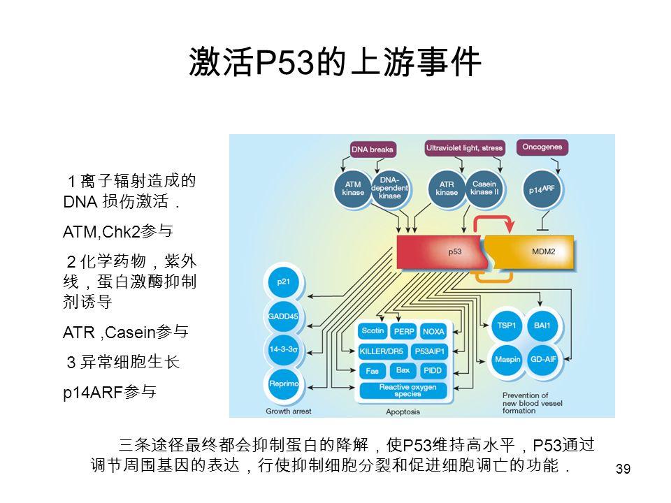 激活P53的上游事件 1离子辐射造成的DNA 损伤激活. ATM,Chk2参与 2化学药物,紫外线,蛋白激酶抑制剂诱导