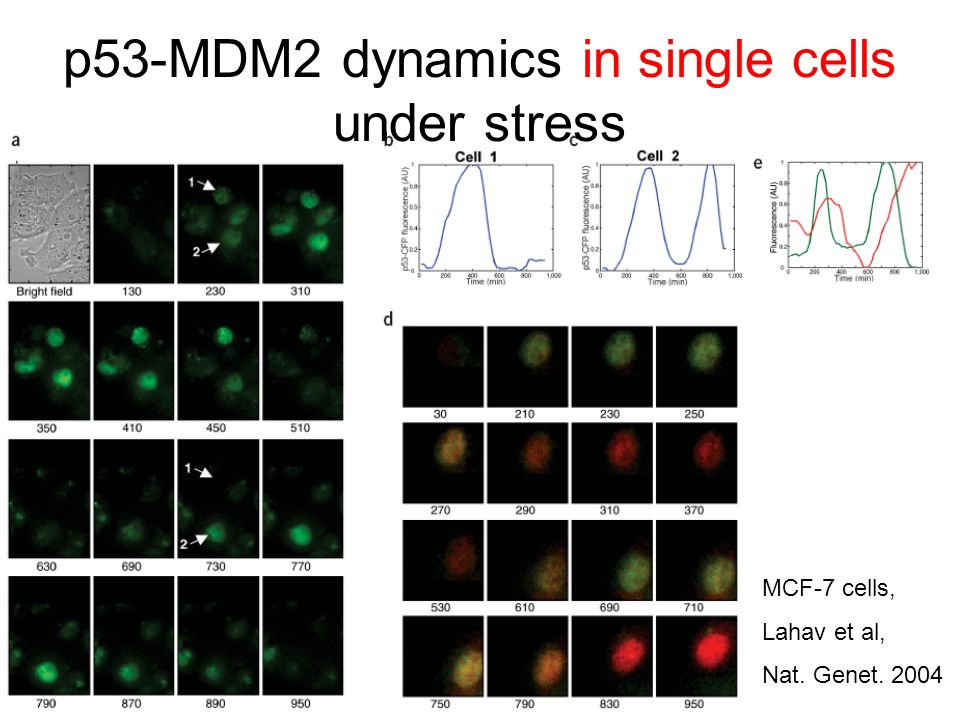 p53-MDM2 dynamics in single cells under stress