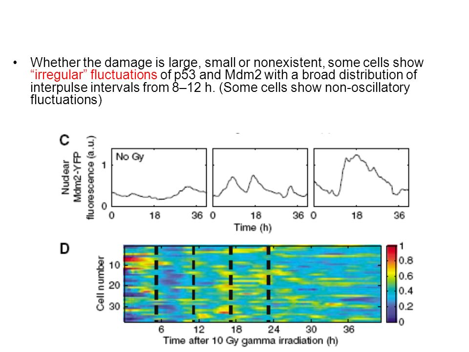 Whether the damage is large, small or nonexistent, some cells show irregular fluctuations of p53 and Mdm2 with a broad distribution of interpulse intervals from 8–12 h.