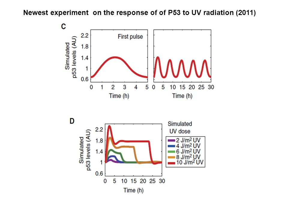 Newest experiment on the response of of P53 to UV radiation (2011)