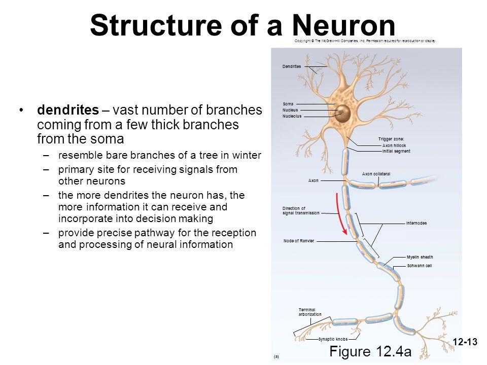 Structure of a Neuron Figure 12.4a Figure 12.4a