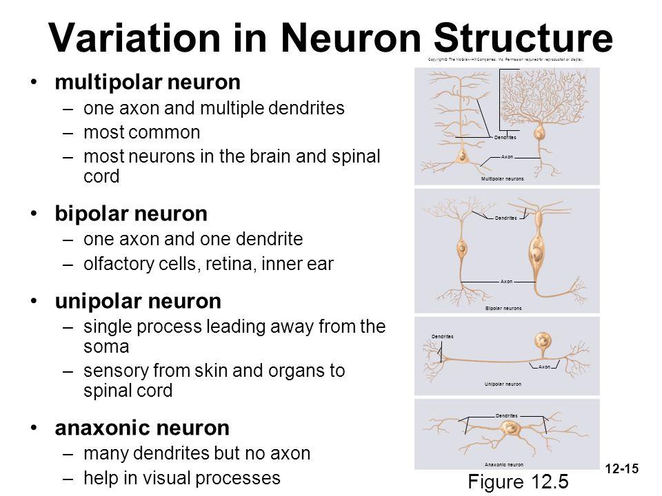 Variation in Neuron Structure