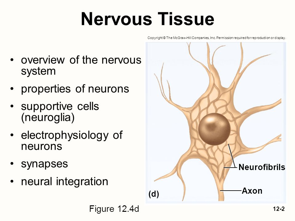 Nervous Tissue overview of the nervous system properties of neurons