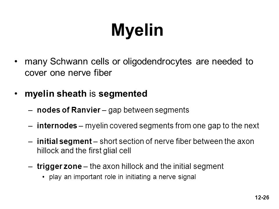 Myelin many Schwann cells or oligodendrocytes are needed to cover one nerve fiber. myelin sheath is segmented.