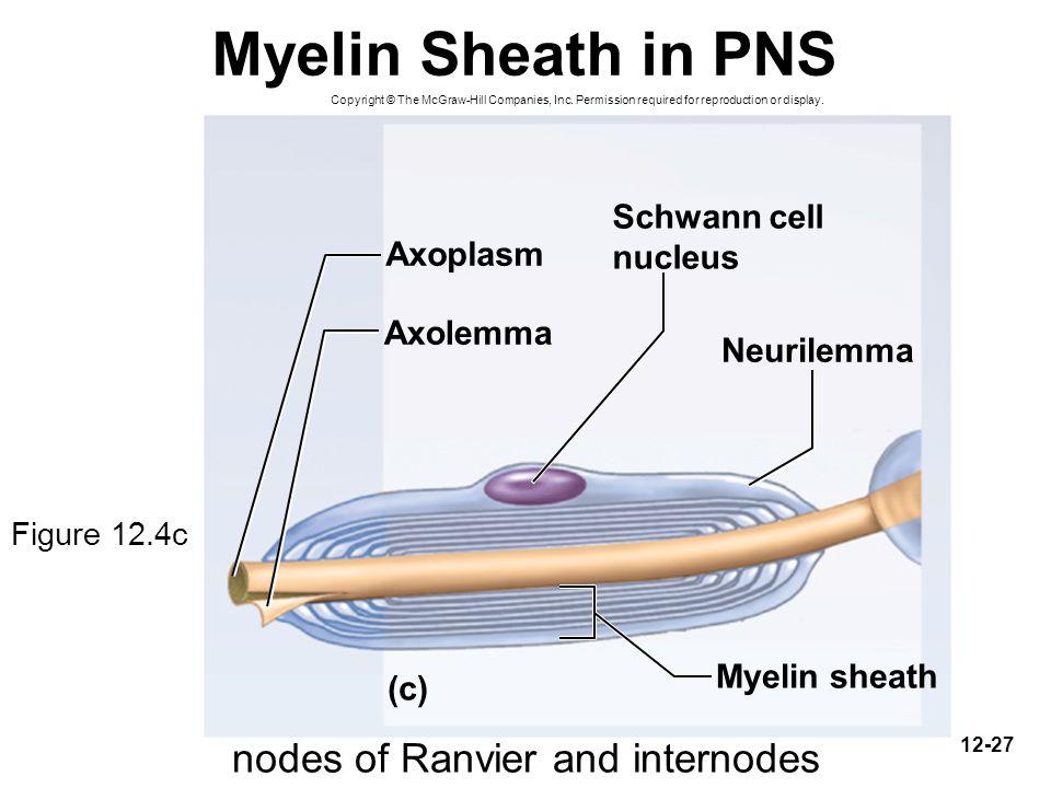 nodes of Ranvier and internodes