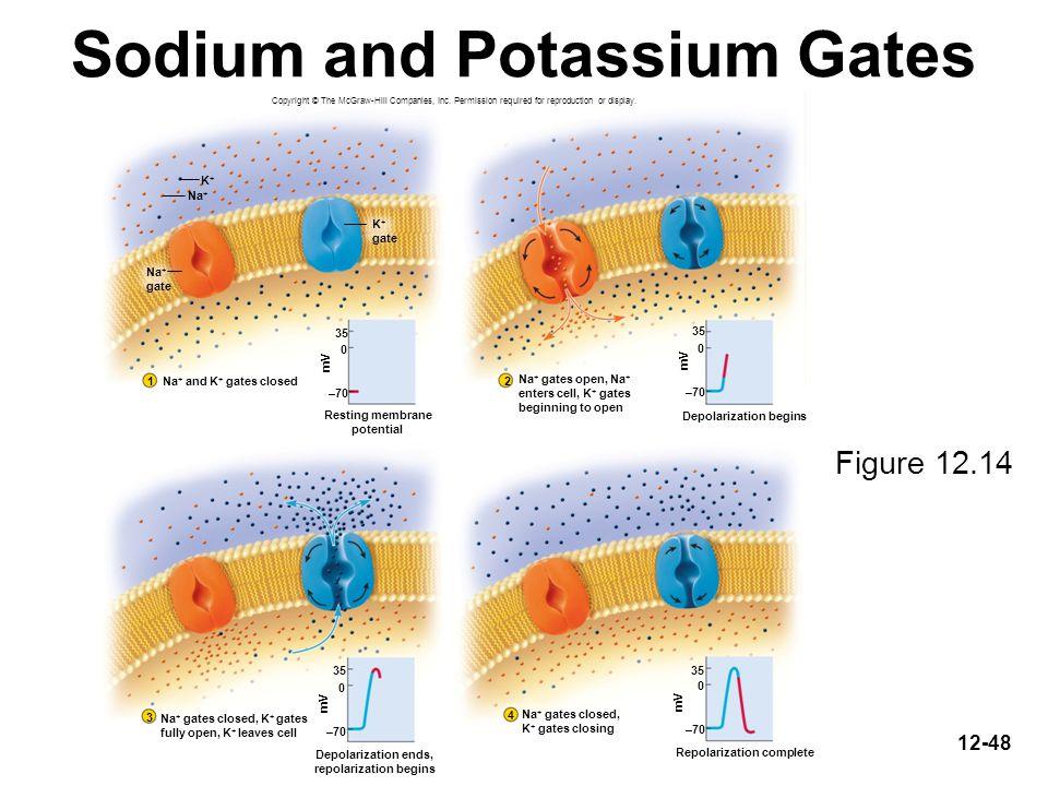 Sodium and Potassium Gates