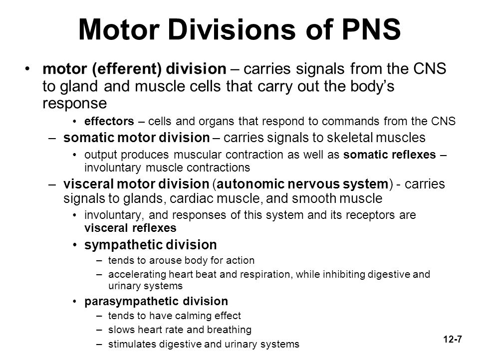 Motor Divisions of PNS motor (efferent) division – carries signals from the CNS to gland and muscle cells that carry out the body's response.