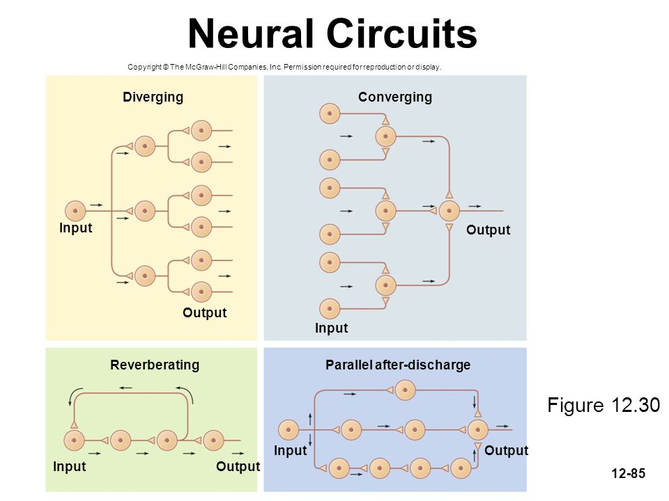 Neural Circuits Figure 12.30 Diverging Converging Input Output Output