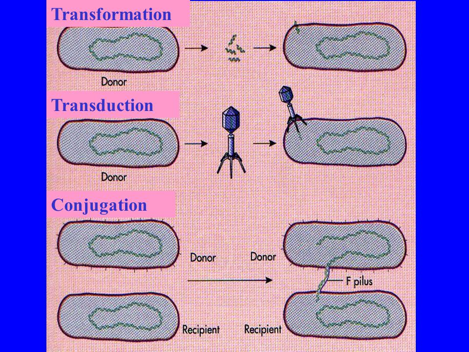 conjugation transformation and transduction Tag words: antibiotic, antimicrobial, antibiotic resistance, penicillin these are transduction, transformation or conjugation conjugation.
