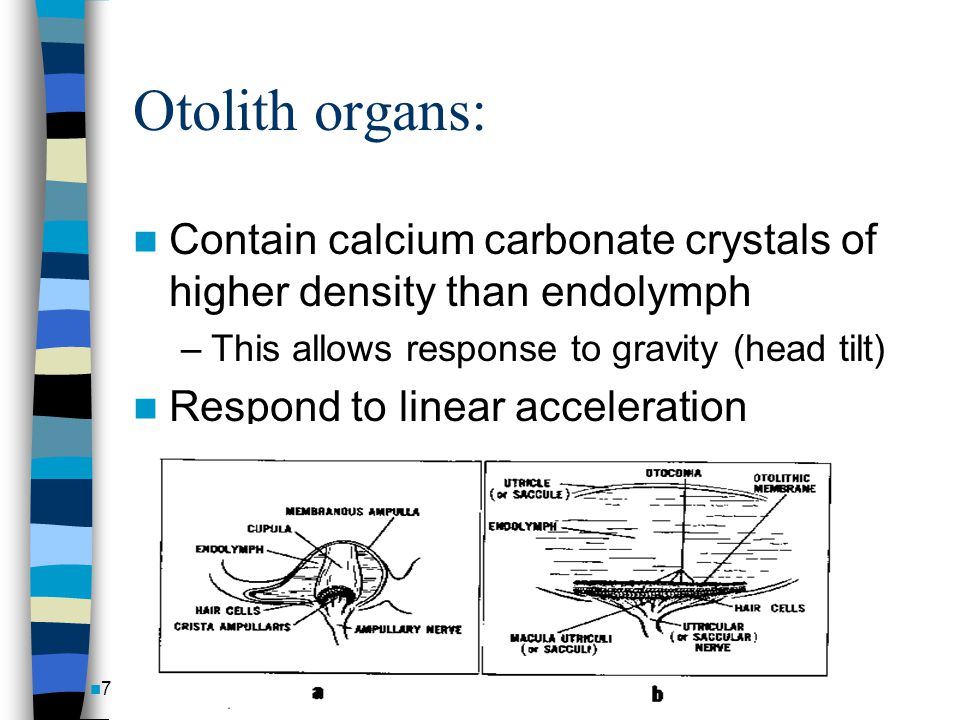 Otolith organs: Contain calcium carbonate crystals of higher density than endolymph. This allows response to gravity (head tilt)