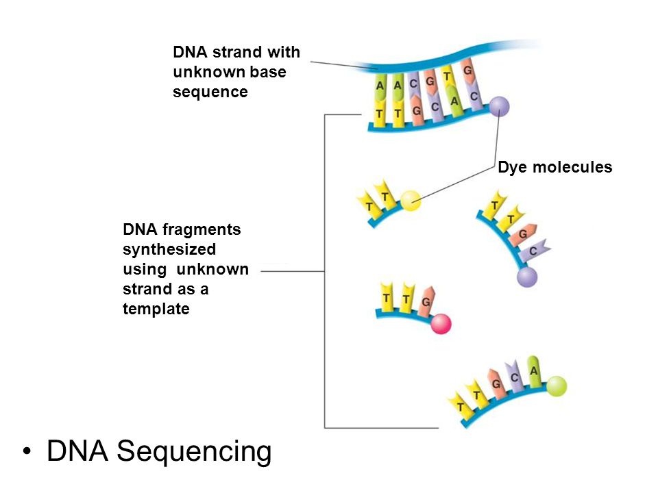 DNA Sequencing DNA strand with unknown base sequence Dye molecules