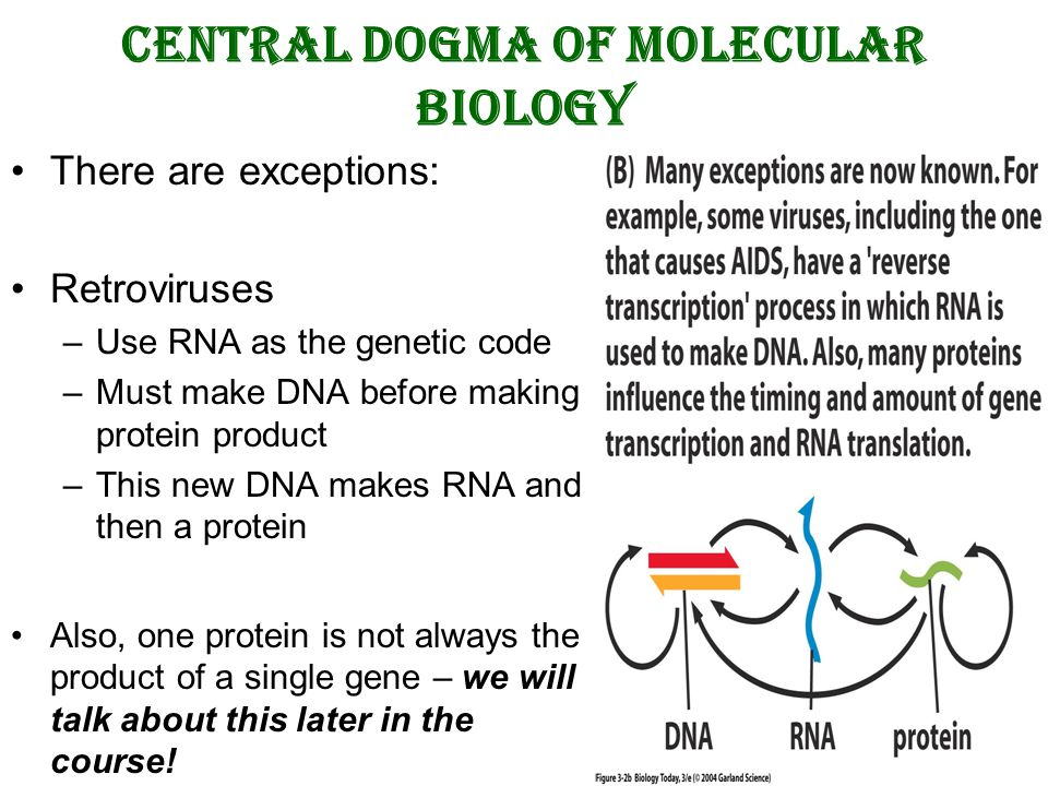 central dogma of molecular biology Do you want to know more about the central dogma of molecular biology read this to discover the coordination between a gene sequence and protein product.