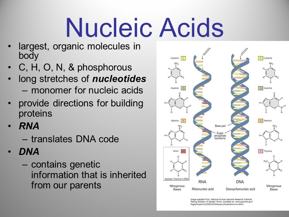 Nucleic Acids largest, organic molecules in body