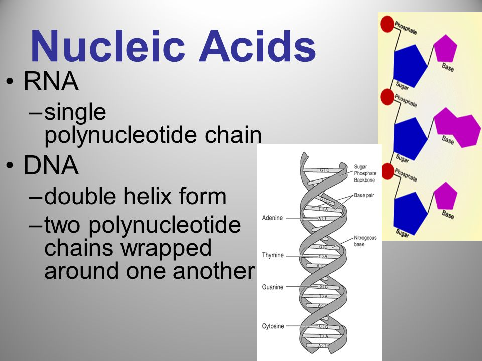 Nucleic Acids RNA DNA single polynucleotide chain double helix form