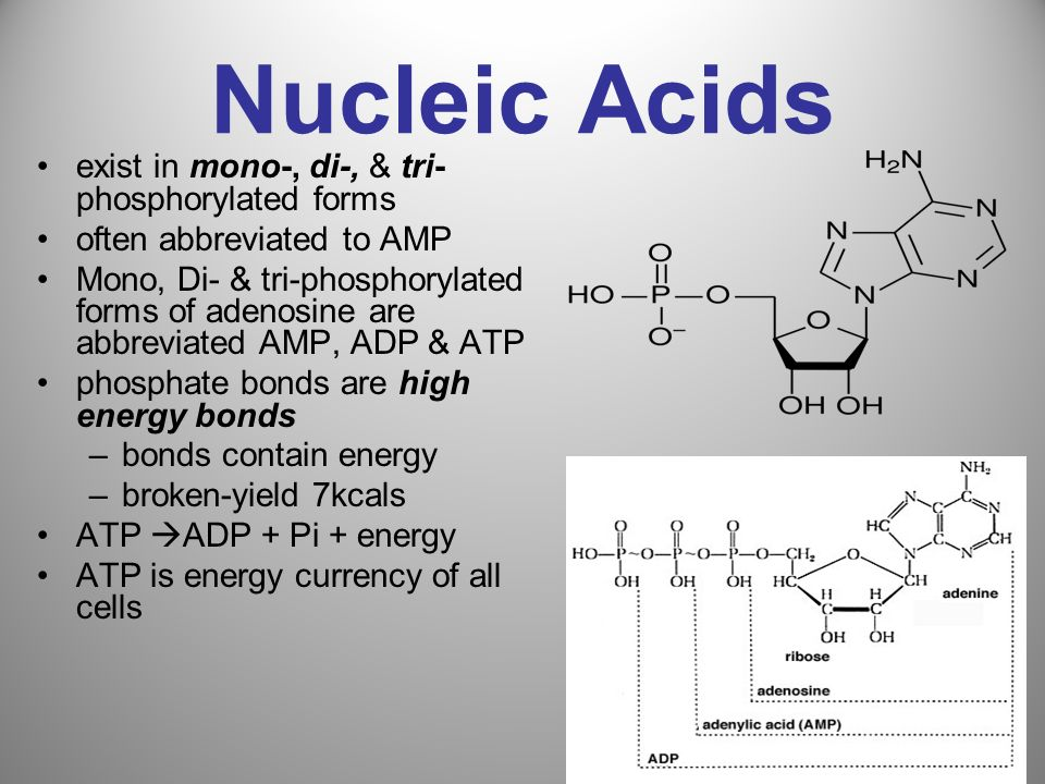 Nucleic Acids exist in mono-, di-, & tri-phosphorylated forms