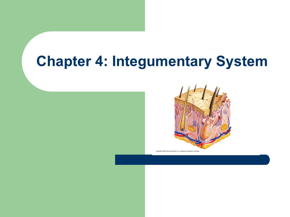 Chapter 4: Integumentary System - ppt video online download