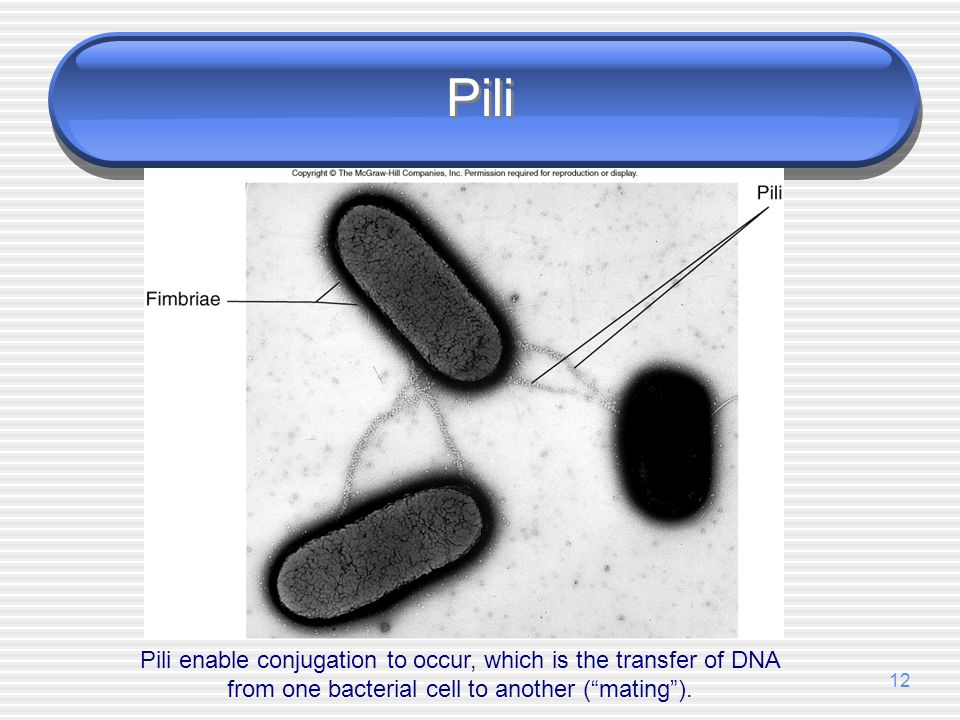 Pili Pili enable conjugation to occur, which is the transfer of DNA from one bacterial cell to another ( mating ).