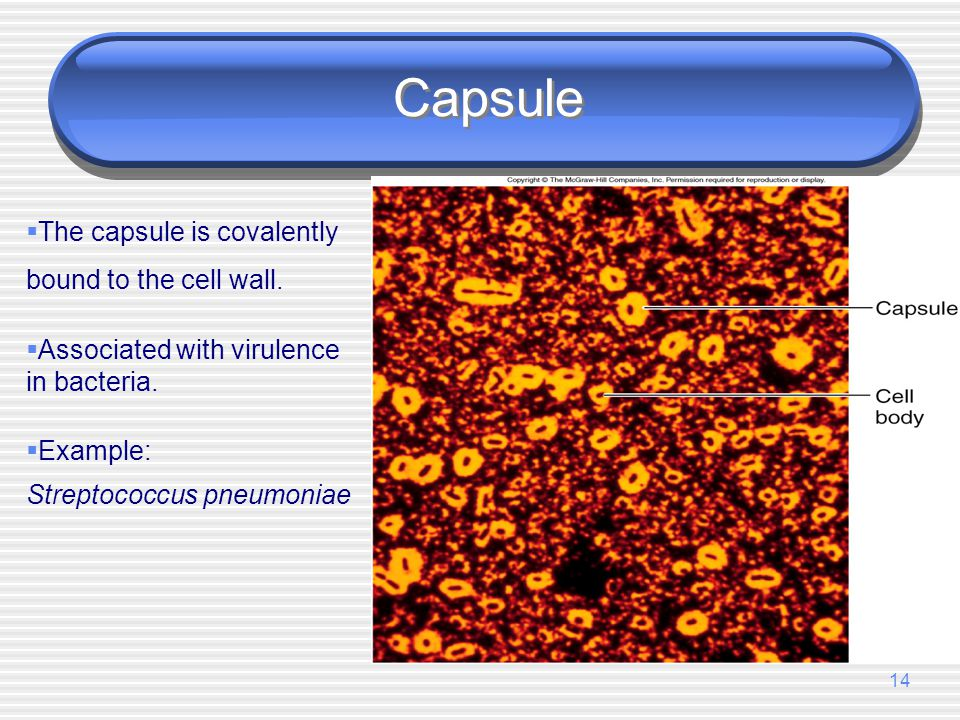 Capsule The capsule is covalently bound to the cell wall.